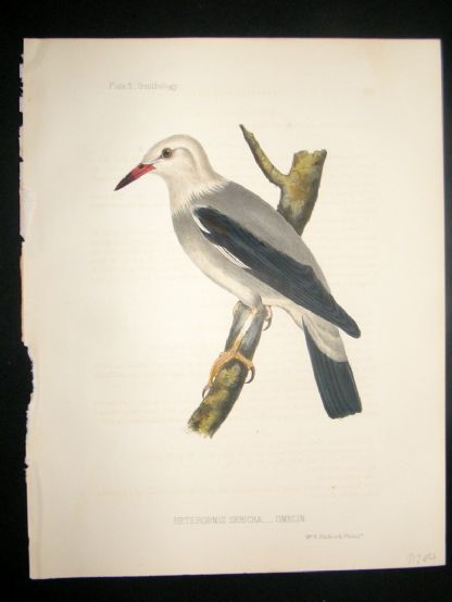 Japan Perry Expedition 1856 Antique Hand Col Bird Print. Heterornis Sericea 5 | Albion Prints